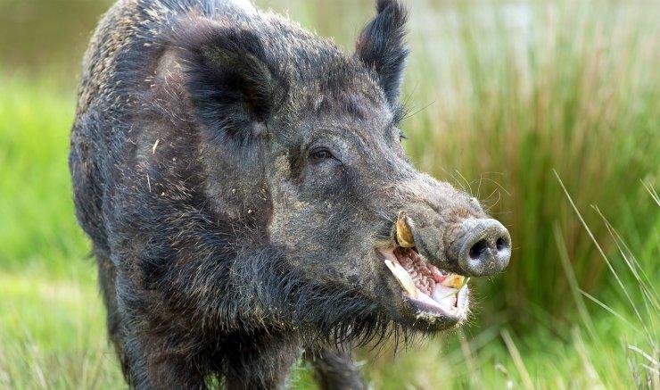 В Астраханском биосферном заповеднике вспышка африканской чумы свиней