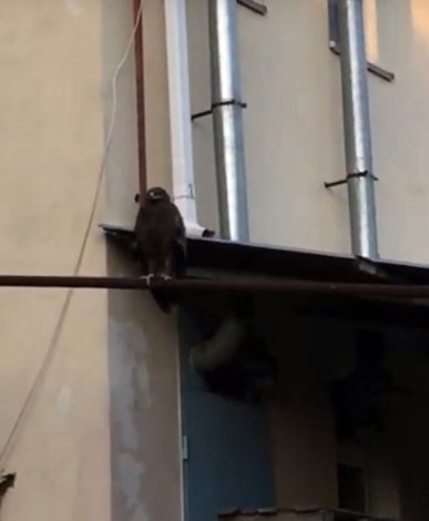 К Шеину прилетел орёл