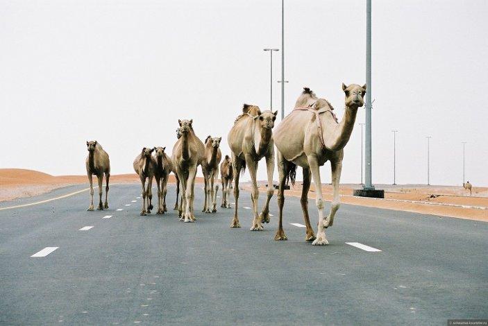Верблюды из Казахстана не попали в Астраханскую область