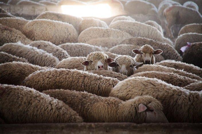 Из Астраханской области пытались вывезти стадо овец без документов